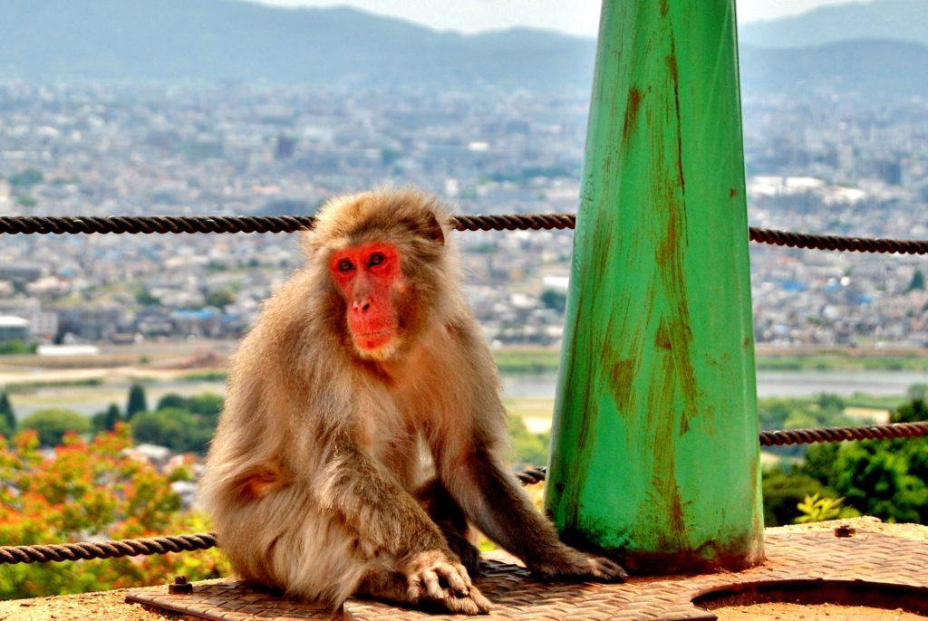 Monkey in Japan near Kyoto
