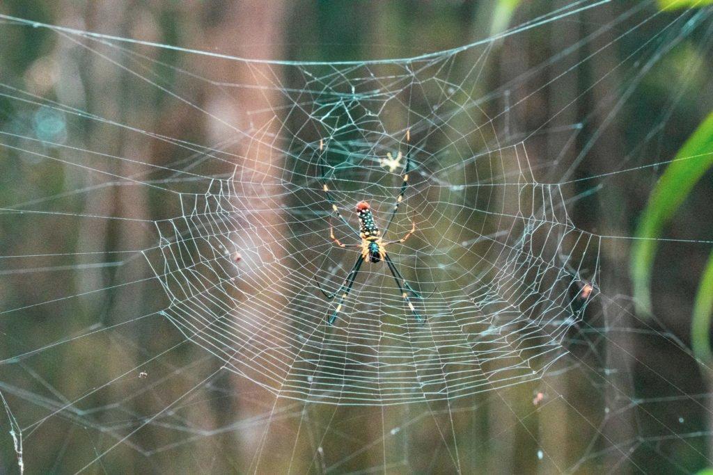 Giant Thailand Spider