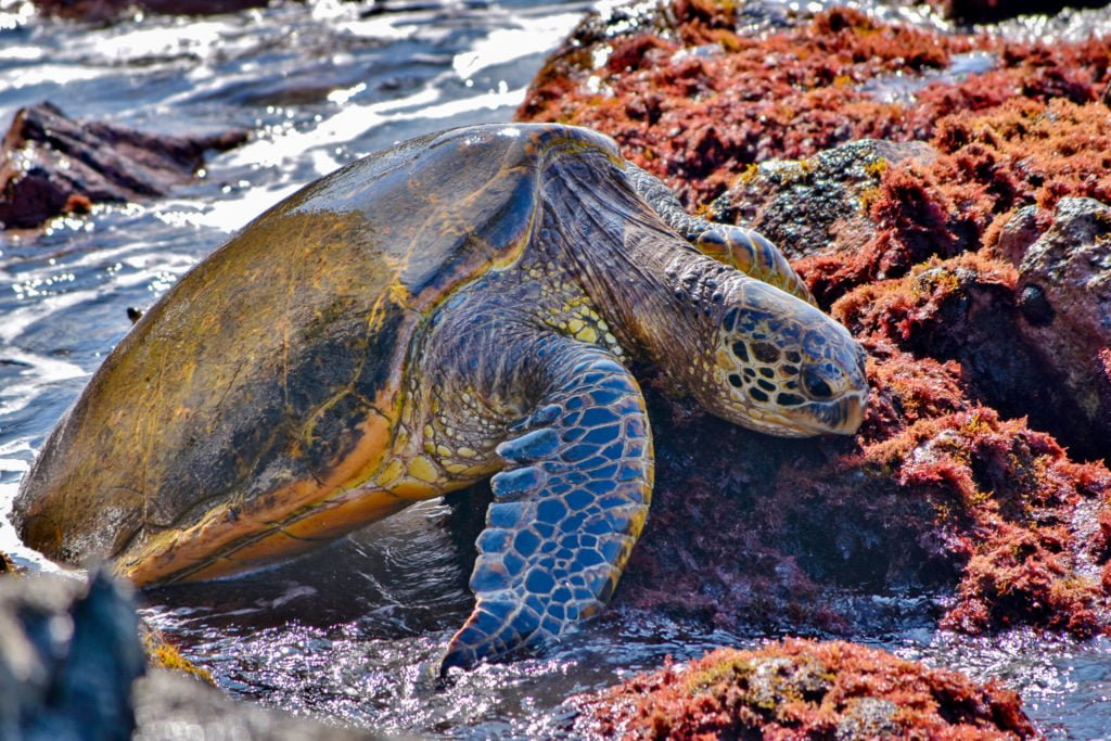 Maui Sea Turtle eating on rocks