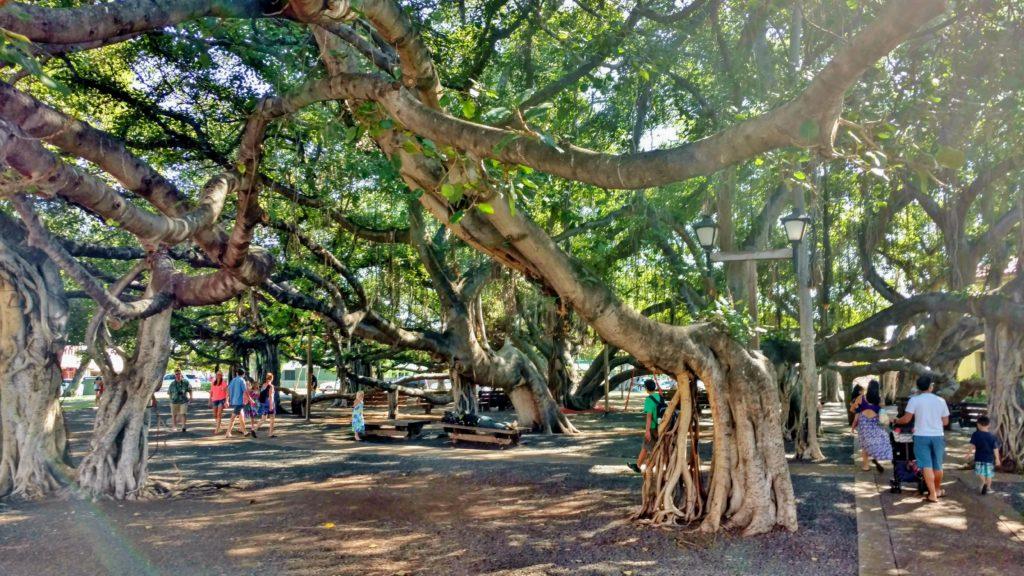 Banyan Trees in Lahaina, Maui