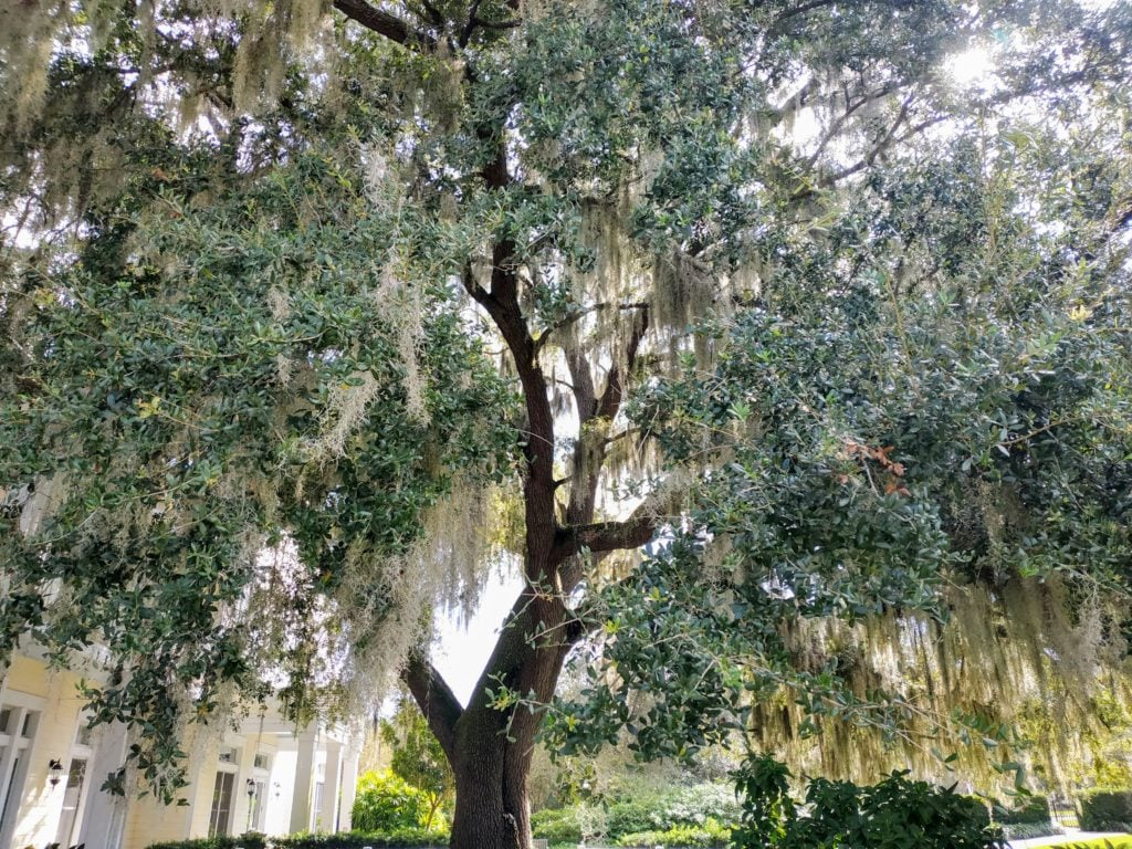 Old Cedar Tree by Welcome Center at Leu Gardens