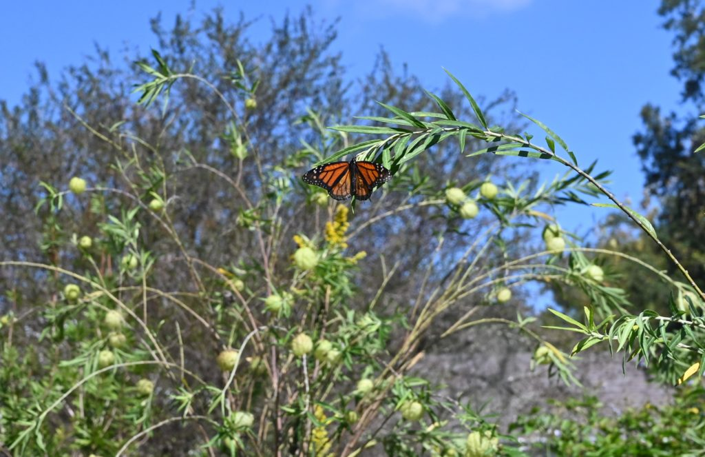 monarch butterfly in leu gardens