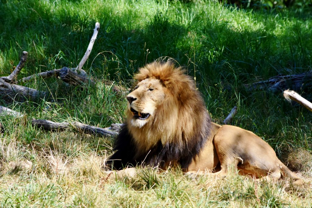 lion at Woodland Park Zoo