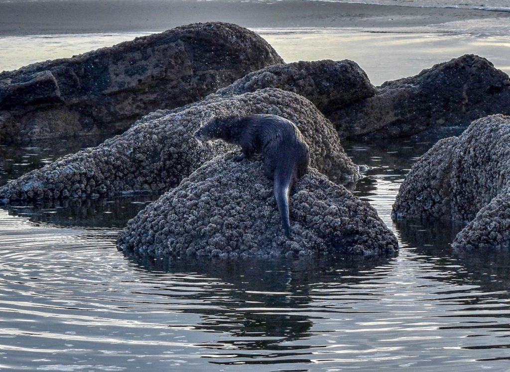 sea otter shaking water