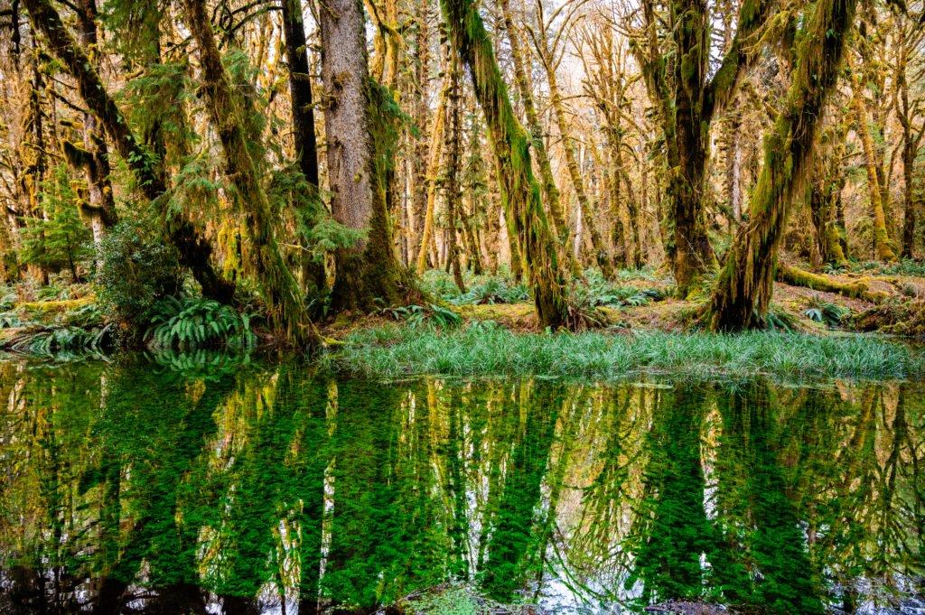 Quinault rainforest green plants