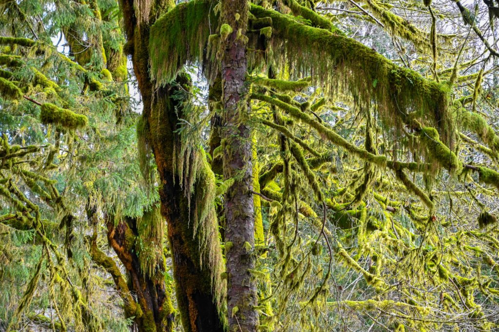 mossy trees Quinault rainforest