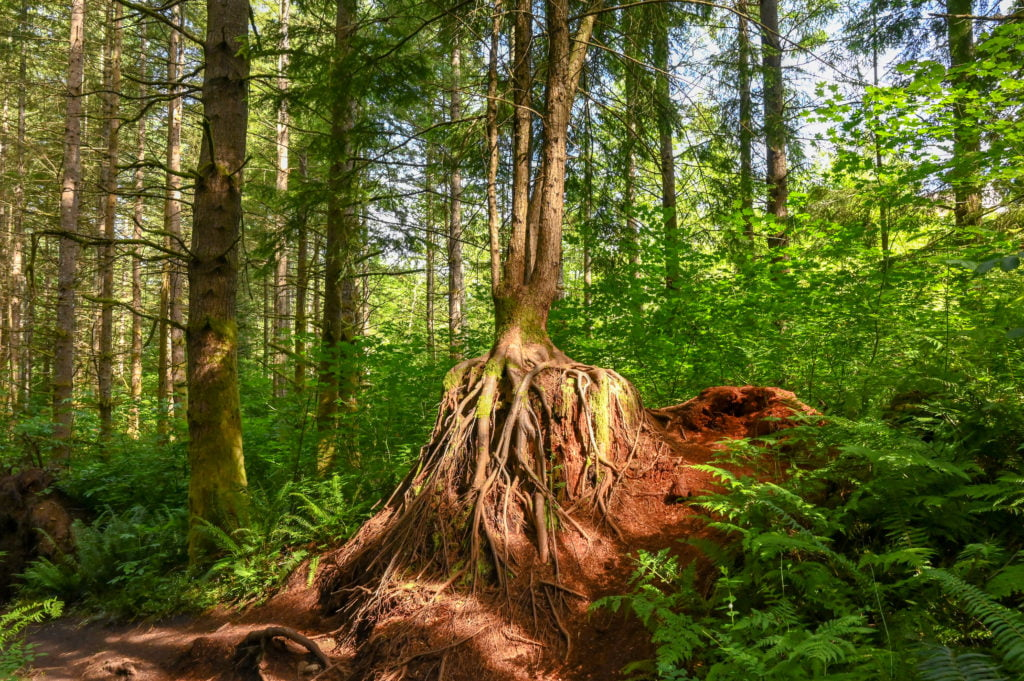 a tree growing over a stump