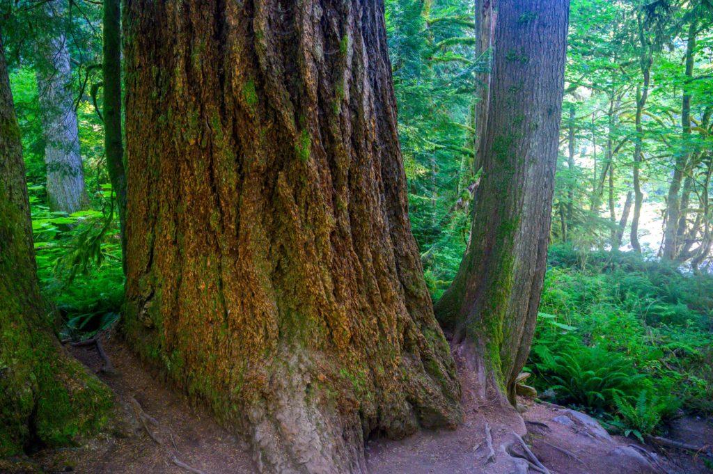big tree on twin falls trail