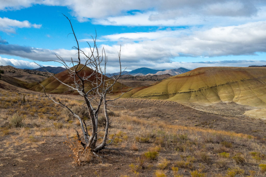 old tree at Painted Hills