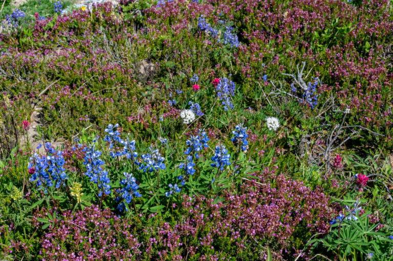wildflowers at Mt Rainier