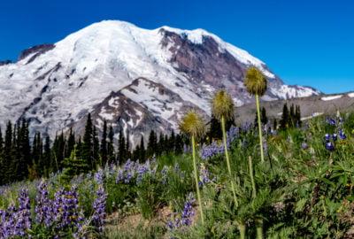 Mount Rainier and wildflowers at Sunrise